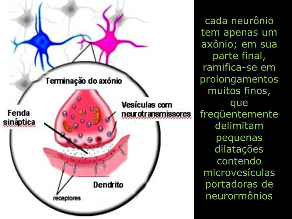 cada neurônio tem apenas um axônio; em sua parte final, ramifica-se em prolongamentos muitos finos, que freqüentemente delimitam pequenas dilatações c
