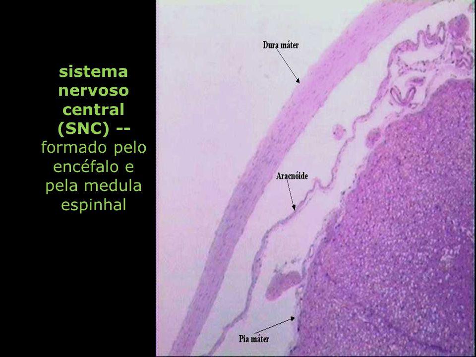 sistema nervoso central (SNC) -- formado pelo encéfalo e pela medula espinhal
