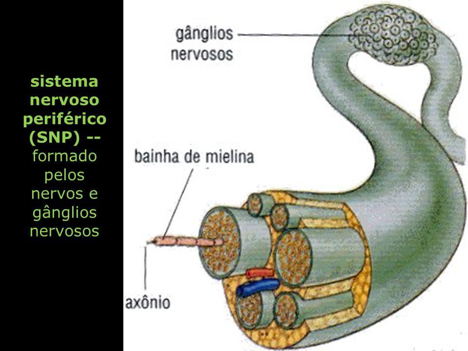 sistema nervoso periférico (SNP) -- formado pelos nervos e gânglios nervosos