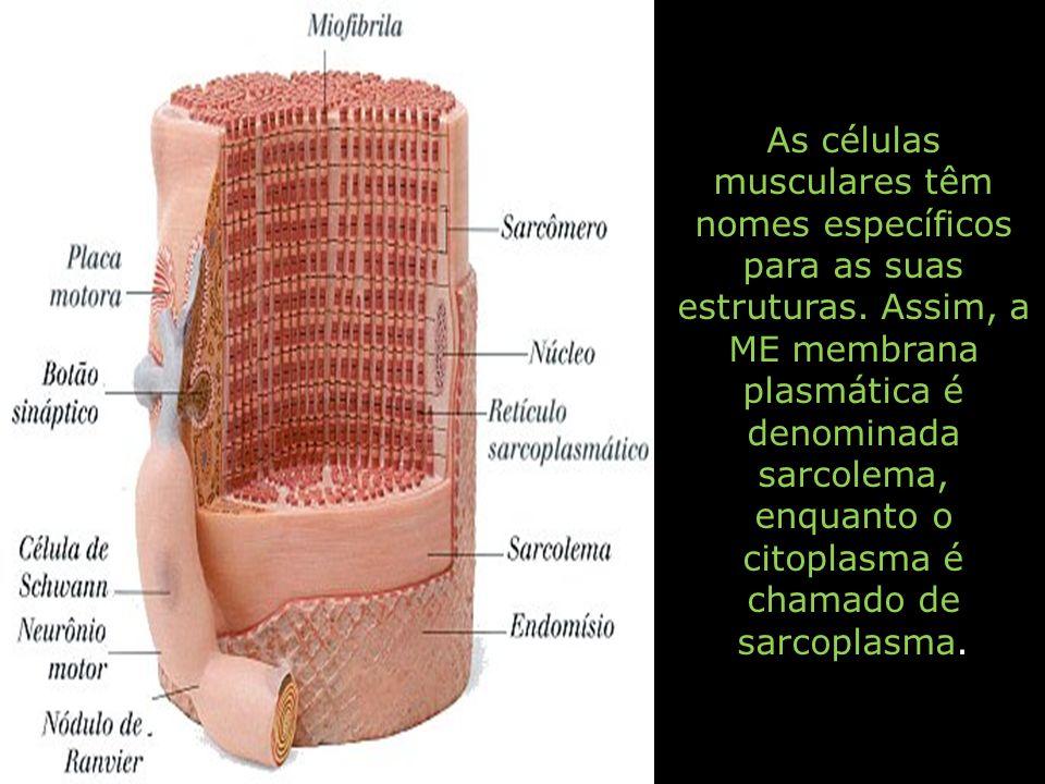 As células musculares têm nomes específicos para as suas estruturas. Assim, a ME membrana plasmática é denominada sarcolema, enquanto o citoplasma é c