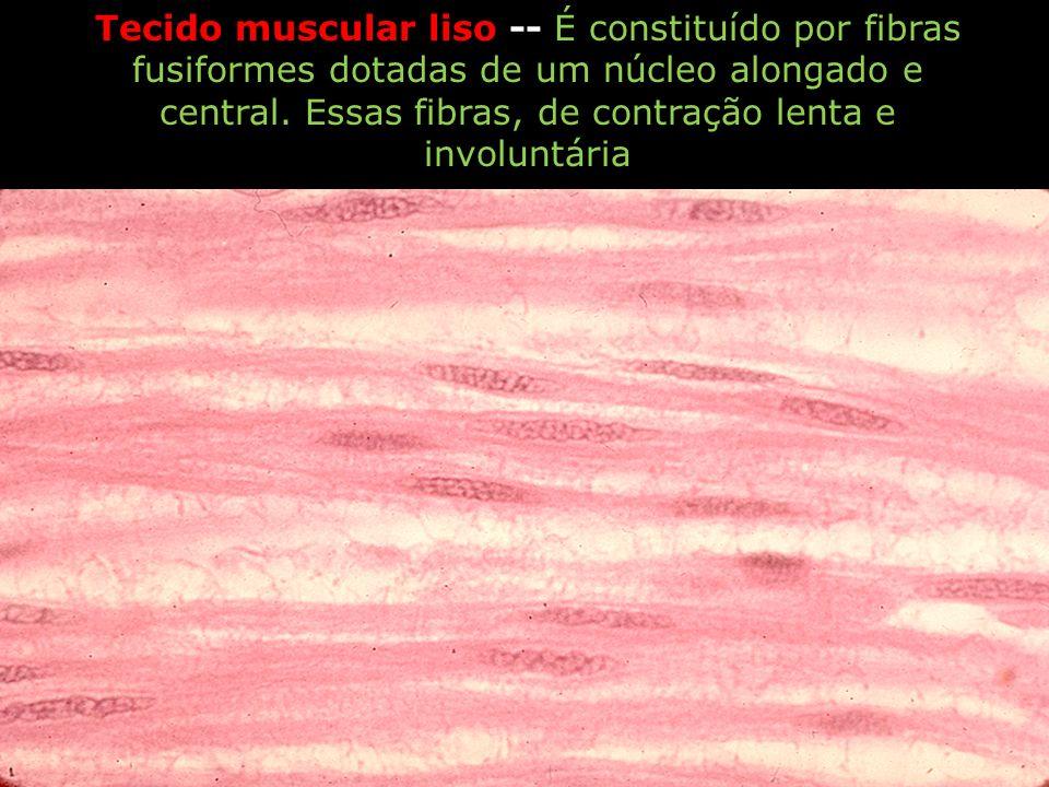 Tecido muscular liso -- É constituído por fibras fusiformes dotadas de um núcleo alongado e central. Essas fibras, de contração lenta e involuntária