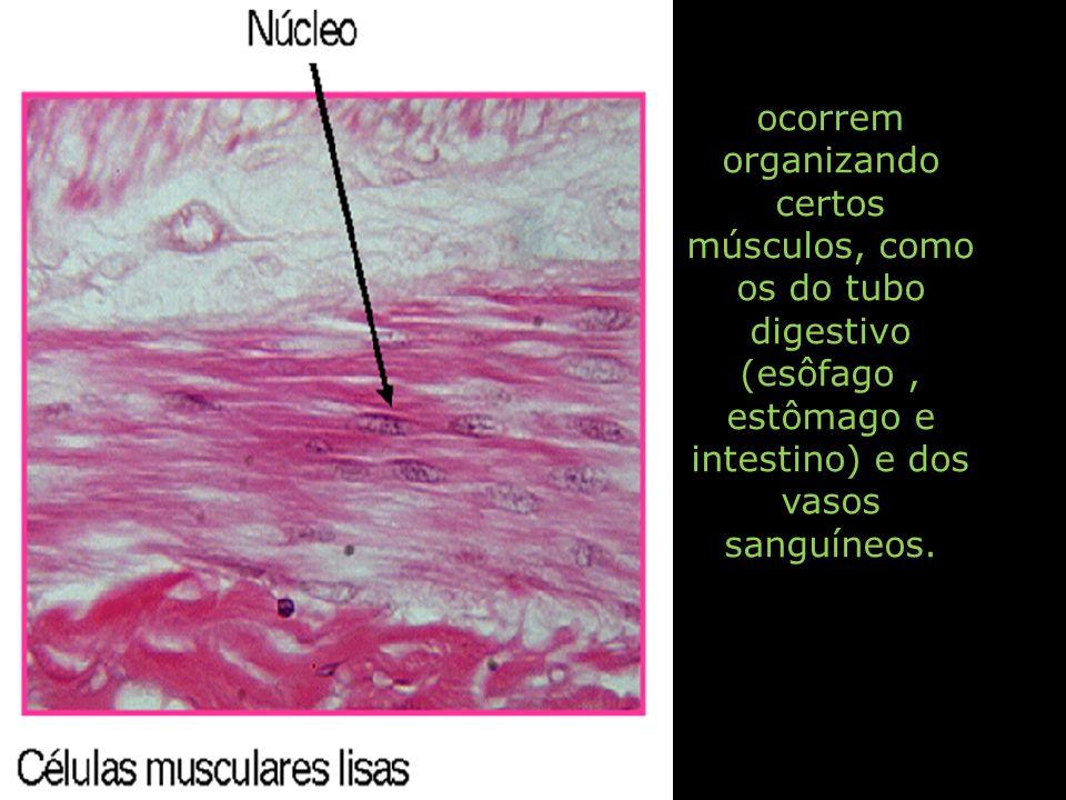 ocorrem organizando certos músculos, como os do tubo digestivo (esôfago, estômago e intestino) e dos vasos sanguíneos.