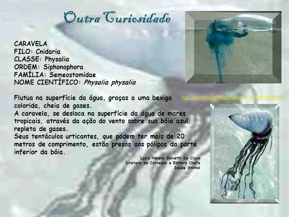 CARAVELA FILO: Cnidaria CLASSE: Physalia ORDEM: Siphonophora FAMÍLIA: Semeostomidae NOME CIENTÍFICO: Physalia physalia Flutua na superfície da água, g