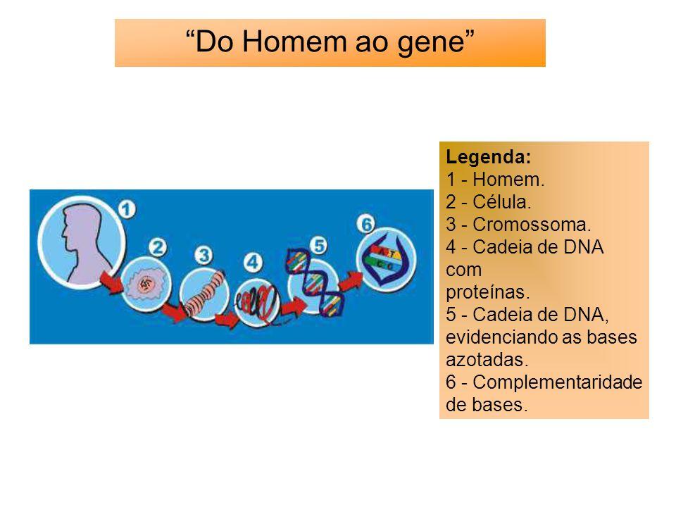 Do Homem ao gene Legenda: 1 - Homem. 2 - Célula. 3 - Cromossoma. 4 - Cadeia de DNA com proteínas. 5 - Cadeia de DNA, evidenciando as bases azotadas. 6