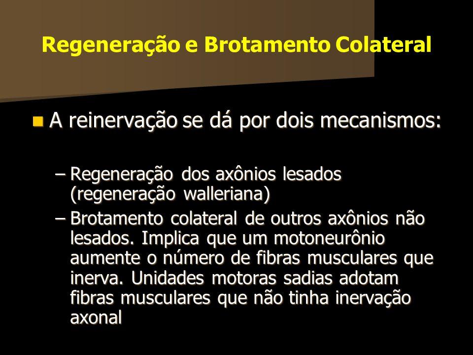 Regeneração e Brotamento Colateral A reinervação se dá por dois mecanismos: A reinervação se dá por dois mecanismos: –Regeneração dos axônios lesados