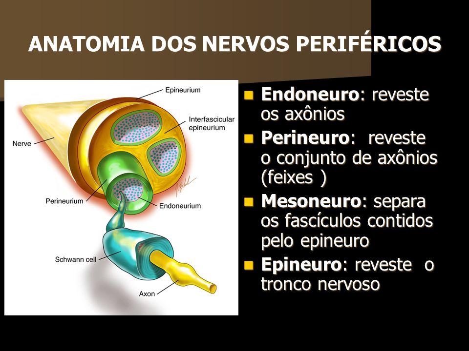 ANATOMIA DOS NERVOS PERIFÉRICOS Endoneuro: reveste os axônios Endoneuro: reveste os axônios Perineuro: reveste o conjunto de axônios (feixes ) Perineu