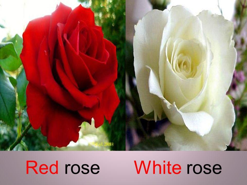 Red roseWhite rose