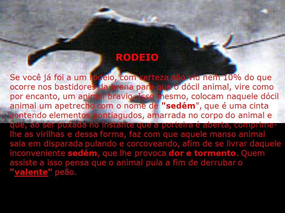 RODEIO E MAUS TRATOS AOS ANIMAIS A farra do boi de Santa Catarina, apesar de proibida por lei, ainda leva centenas de pessoas a se