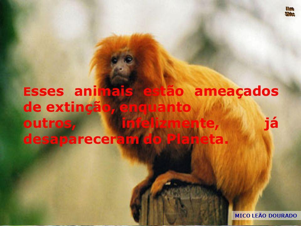 MICO LEÃO DOURADO E sses animais estão ameaçados de extinção, enquanto outros, infelizmente, já desapareceram do Planeta.