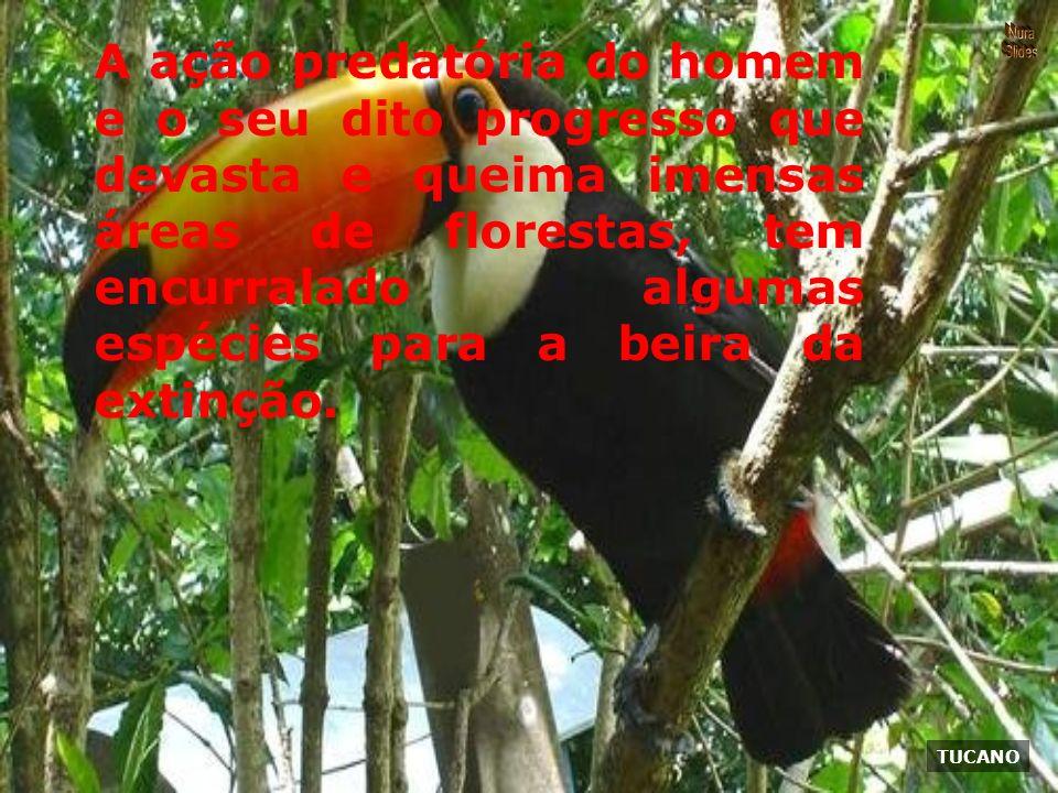 TUCANO A ação predatória do homem e o seu dito progresso que devasta e queima imensas áreas de florestas, tem encurralado algumas espécies para a beira da extinção.