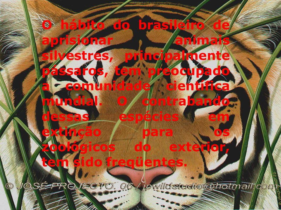 TUCANO A ação predatória do homem e o seu dito progresso que devasta e queima imensas áreas de florestas, tem encurralado algumas espécies para a beir