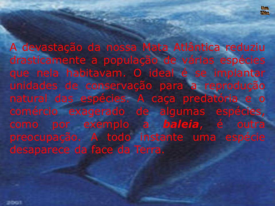 A devastação da nossa Mata Atlântica reduziu drasticamente a população de várias espécies que nela habitavam.