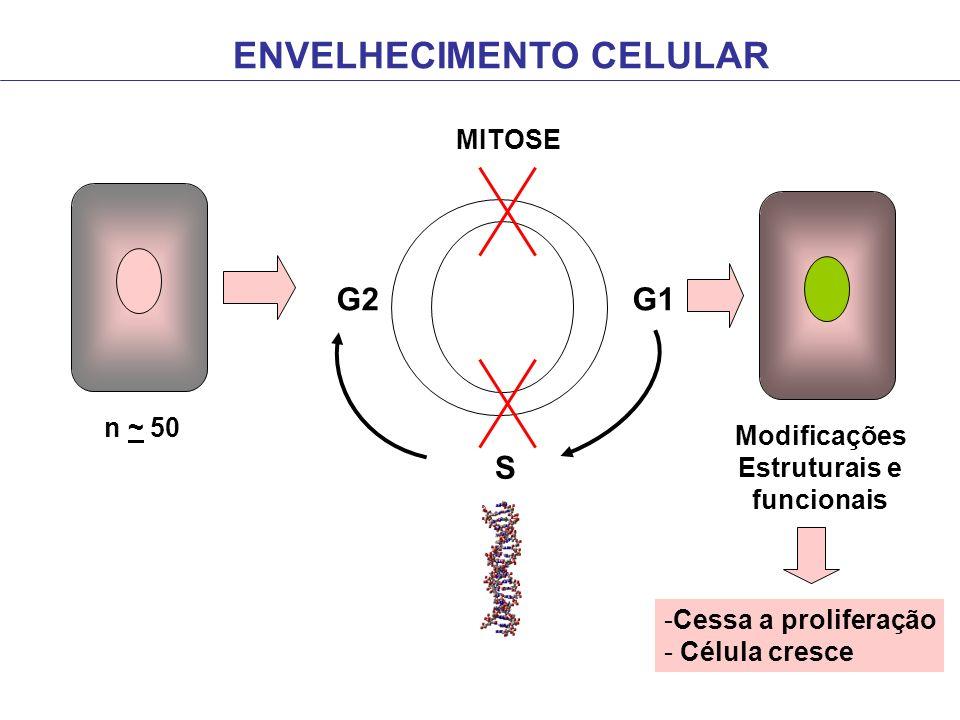 ENVELHECIMENTO CELULAR G2G1 MITOSE S Modificações Estruturais e funcionais n ~ 50 -Cessa a proliferação - Célula cresce