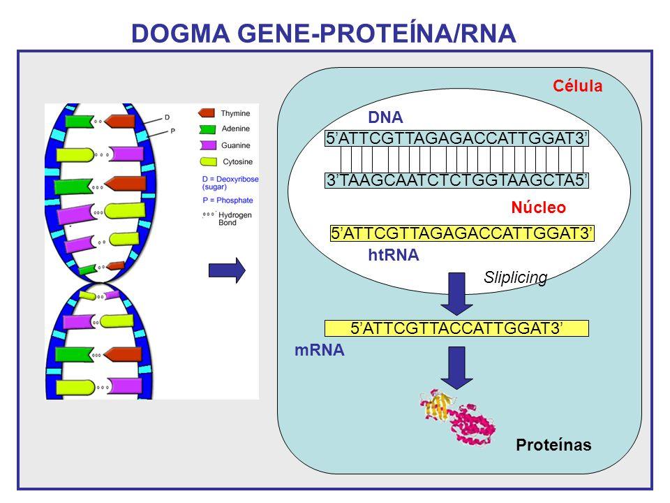 DOGMA GENE-PROTEÍNA/RNA 3TAAGCAATCTCTGGTAAGCTA5 5ATTCGTTAGAGACCATTGGAT3 Núcleo 5ATTCGTTAGAGACCATTGGAT3 DNA htRNA 5ATTCGTTACCATTGGAT3 Proteínas Célula