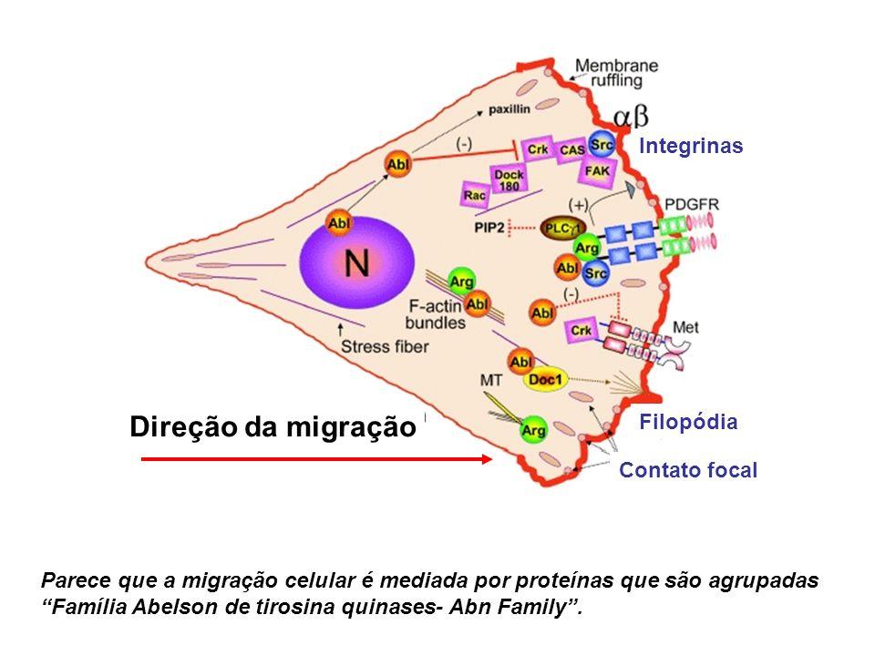Direção da migração Contato focal Filopódia Integrinas Parece que a migração celular é mediada por proteínas que são agrupadas Família Abelson de tiro