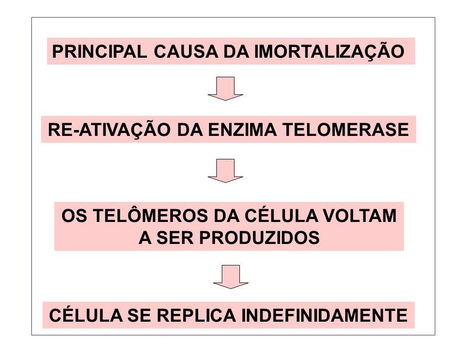 PRINCIPAL CAUSA DA IMORTALIZAÇÃO RE-ATIVAÇÃO DA ENZIMA TELOMERASE OS TELÔMEROS DA CÉLULA VOLTAM A SER PRODUZIDOS CÉLULA SE REPLICA INDEFINIDAMENTE