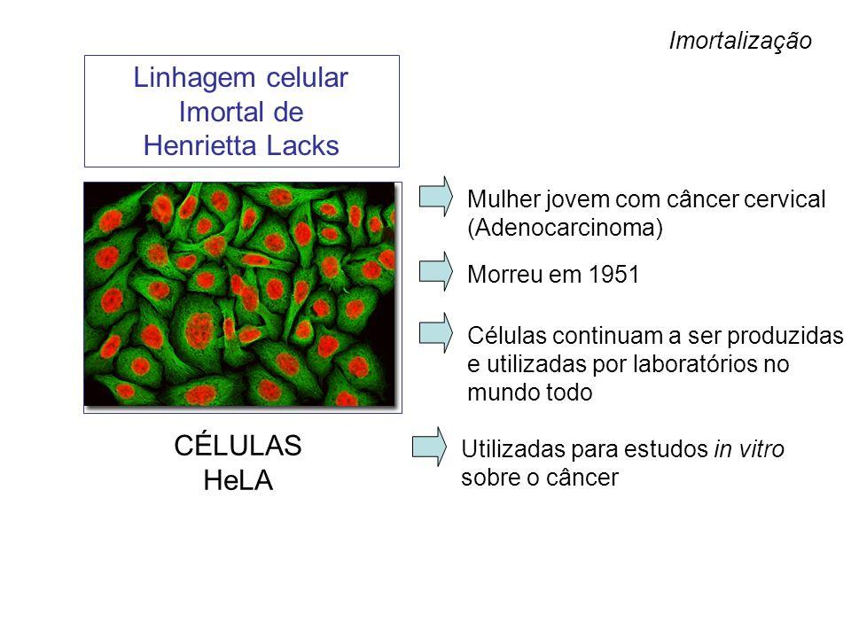 Linhagem celular Imortal de Henrietta Lacks Mulher jovem com câncer cervical (Adenocarcinoma) Morreu em 1951 Células continuam a ser produzidas e util