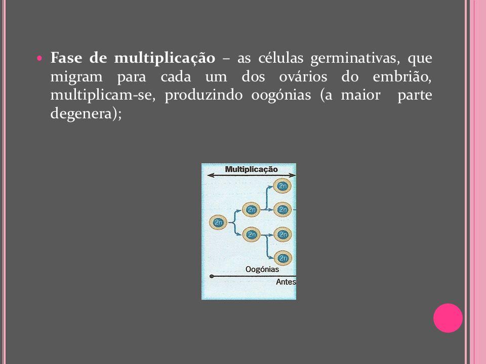Fase de multiplicação – as células germinativas, que migram para cada um dos ovários do embrião, multiplicam-se, produzindo oogónias (a maior parte de
