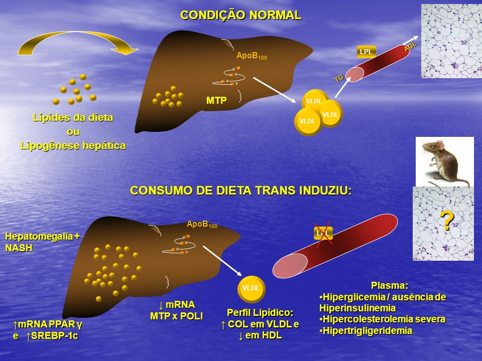 LPL mRNA mRNA MTP x POLI VLDL ApoB 100 mRNA PPAR γ e SREBP-1c CONDIÇÃO NORMAL MTP VLDL ApoB 100 VLDL Lípides da dieta ou Lipogênese hepática TG AGL CO
