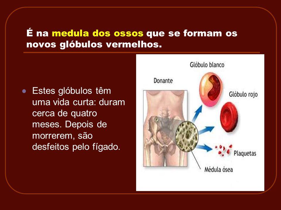 É na medula dos ossos que se formam os novos glóbulos vermelhos. Estes glóbulos têm uma vida curta: duram cerca de quatro meses. Depois de morrerem, s
