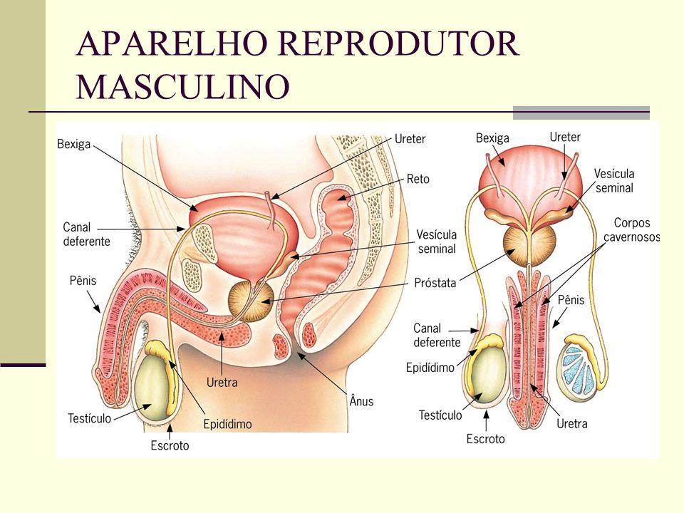 ÚTERO Se comunica com o exterior do corpo pela vagina.