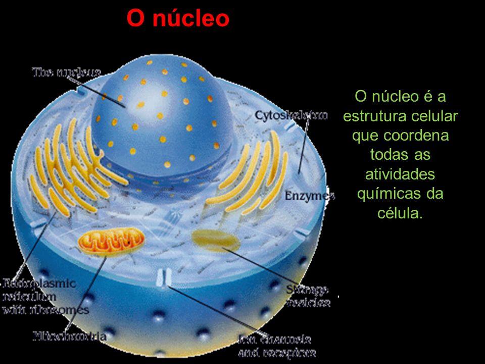 O núcleo é a estrutura celular que coordena todas as atividades químicas da célula. O núcleo