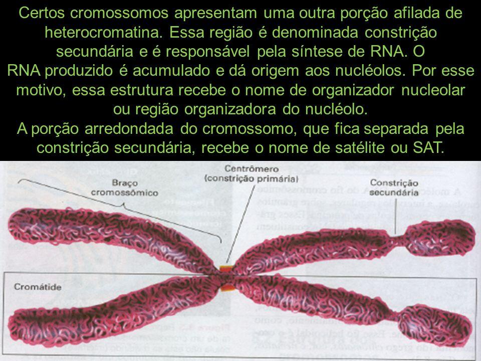 Certos cromossomos apresentam uma outra porção afilada de heterocromatina. Essa região é denominada constrição secundária e é responsável pela síntese