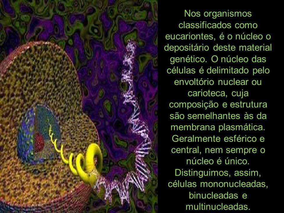 Nos organismos classificados como eucariontes, é o núcleo o depositário deste material genético. O núcleo das células é delimitado pelo envoltório nuc