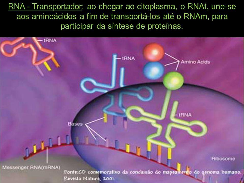 RNA - Transportador: ao chegar ao citoplasma, o RNAt, une-se aos aminoácidos a fim de transportá-los até o RNAm, para participar da síntese de proteínas.