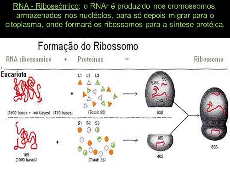 RNA - Ribossômico: o RNAr é produzido nos cromossomos, armazenados nos nucléolos, para só depois migrar para o citoplasma, onde formará os ribossomos para a síntese protéica.