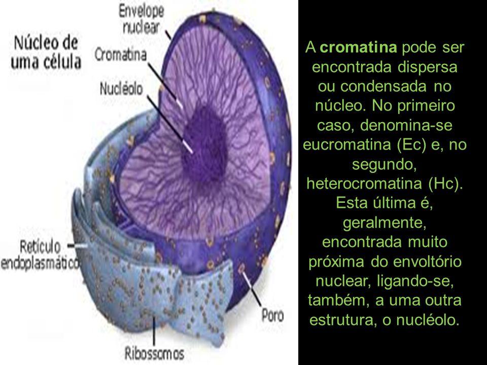 A cromatina pode ser encontrada dispersa ou condensada no núcleo.
