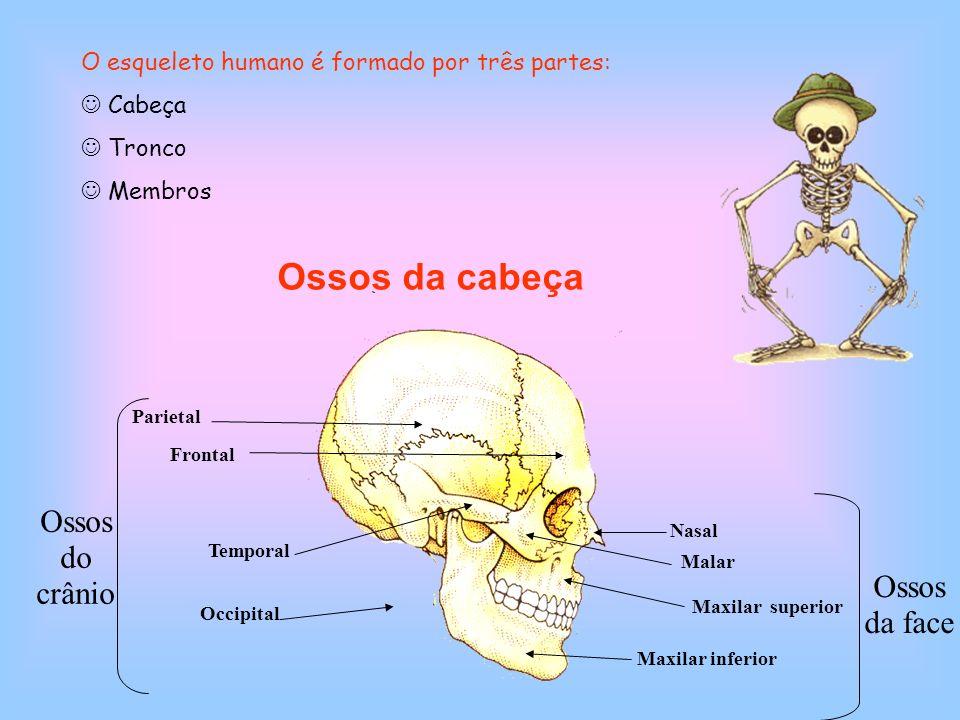 Ossos da cabeça Parietal Frontal Occipital Temporal Nasal MalarMaxilar superior Maxilar inferior Ossos do crânio Ossos da face O esqueleto humano é fo