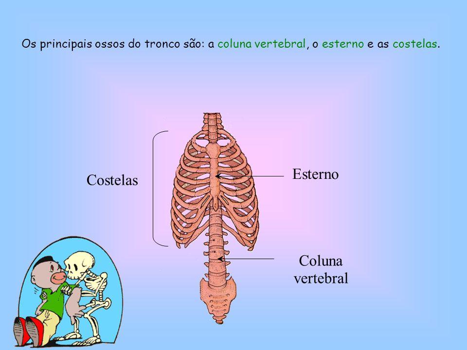 Esterno Coluna vertebral Costelas Os principais ossos do tronco são: a coluna vertebral, o esterno e as costelas.