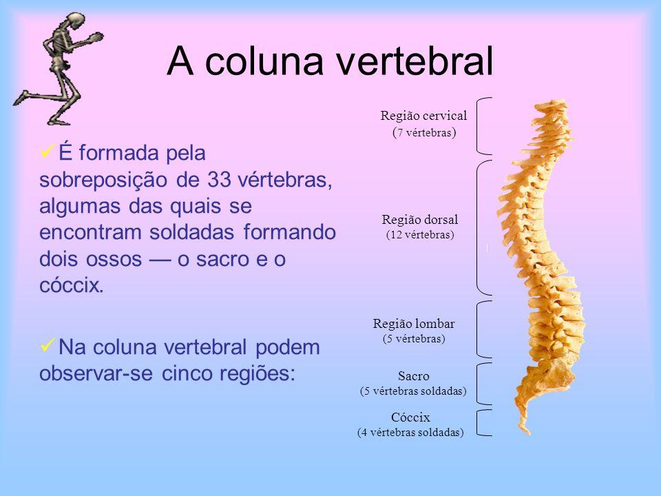 A coluna vertebral É formada pela sobreposição de 33 vértebras, algumas das quais se encontram soldadas formando dois ossos o sacro e o cóccix. Na col