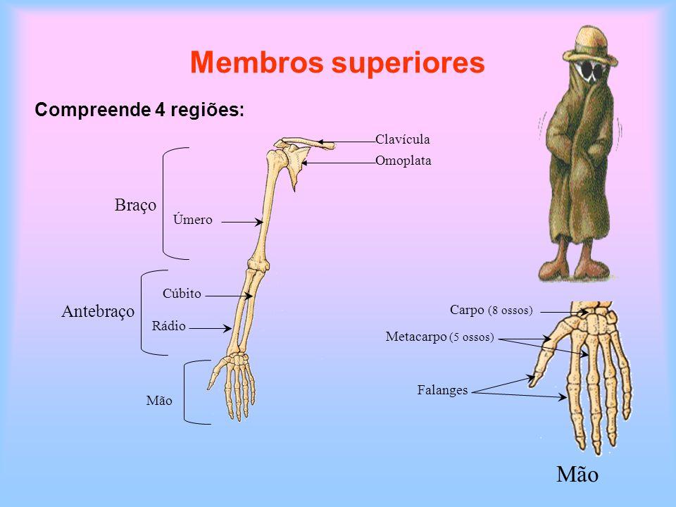 Membros superiores Compreende 4 regiões: Clavícula Omoplata Úmero Braço Antebraço Rádio Cúbito Mão Carpo (8 ossos) Falanges Metacarpo (5 ossos) Mão