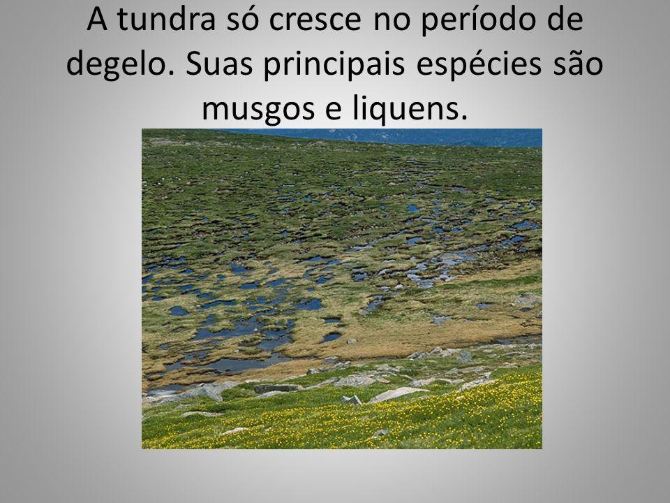 A tundra só cresce no período de degelo. Suas principais espécies são musgos e liquens.