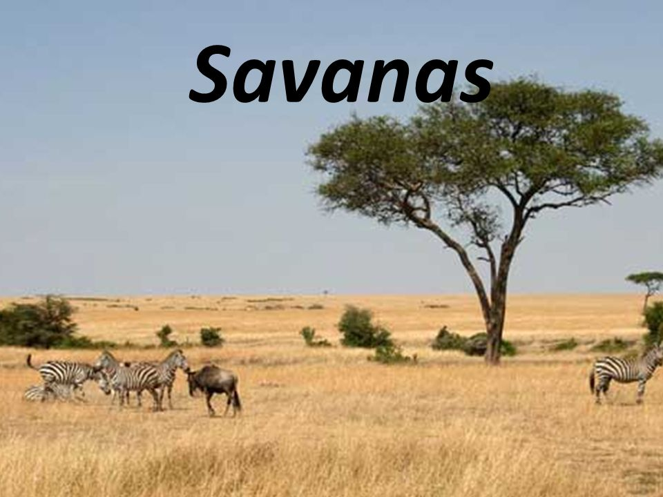As savanas localizam-se entre os biomas da floresta tropical e dos desertos.