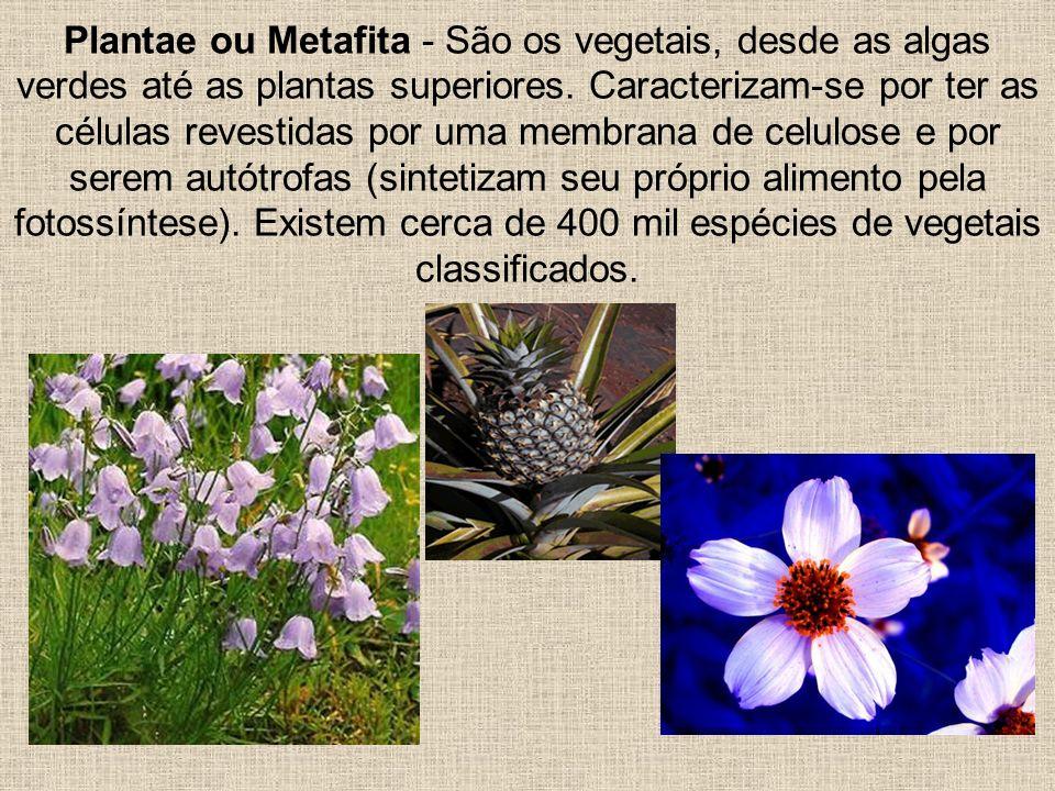 Plantae ou Metafita - São os vegetais, desde as algas verdes até as plantas superiores. Caracterizam-se por ter as células revestidas por uma membrana
