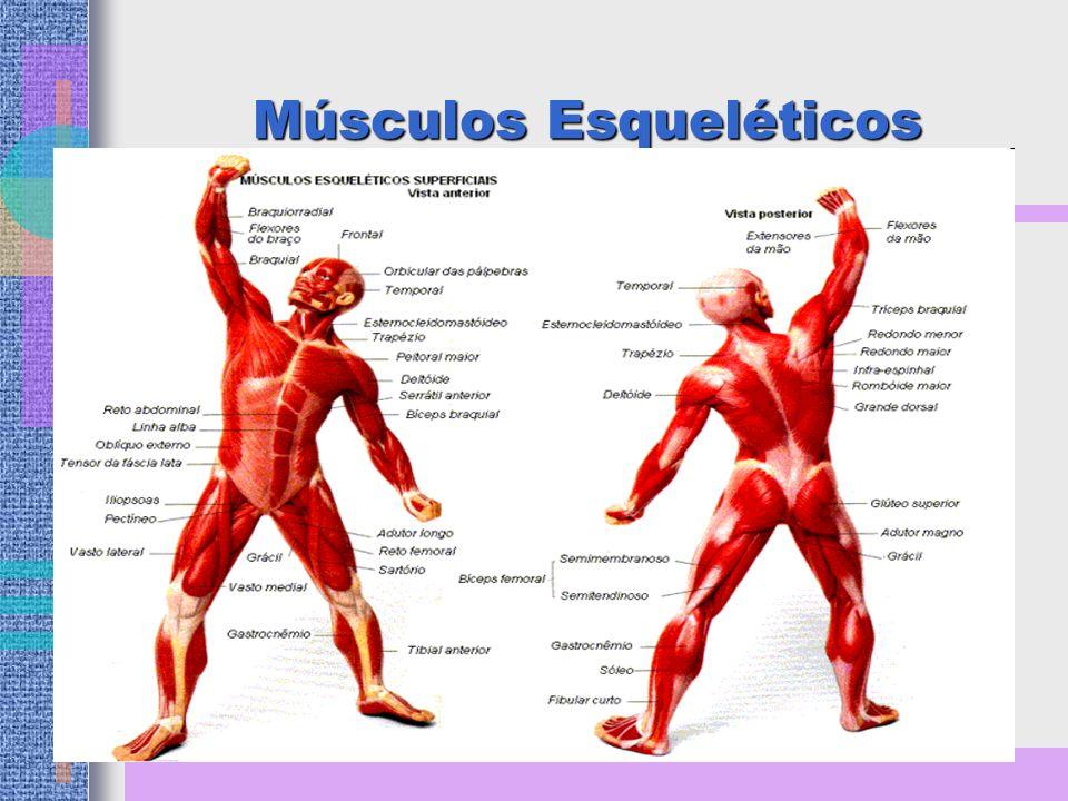 Como os Músculos Funcionam Como alavancas, facilitando os movimentos do corpo.