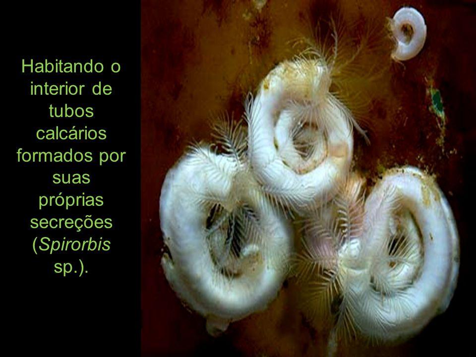 Habitando o interior de tubos calcários formados por suas próprias secreções (Spirorbis sp.).