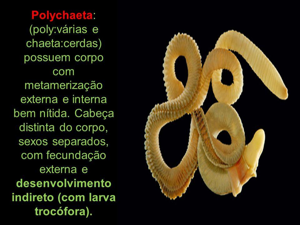 Polychaeta: (poly:várias e chaeta:cerdas) possuem corpo com metamerização externa e interna bem nítida. Cabeça distinta do corpo, sexos separados, com