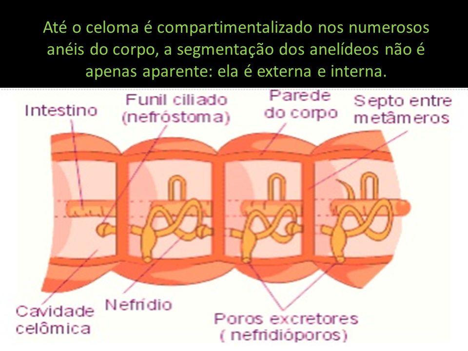 Músculos, gânglios nervosos e órgãos circulatórios e excretores mostram-se individualizados em cada segmento.