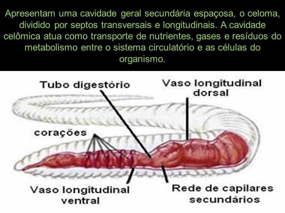 Apresentam uma cavidade geral secundária espaçosa, o celoma, dividido por septos transversais e longitudinais. A cavidade celômica atua como transport