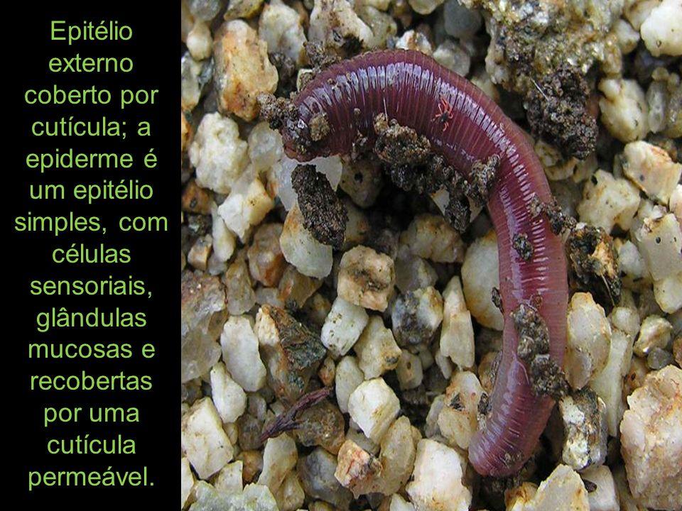 A respiração é geralmente cutânea, excepcionalmente por pequenas brânquias em algumas espécies aquáticas.