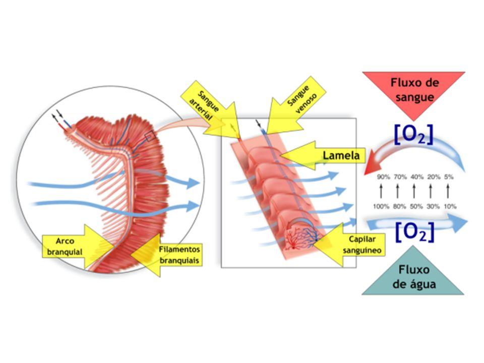 Animais de corpo alongado, cilíndrico, com segmentações externa e interna bem nítida; cabeça não distinta do corpo, raras cerdas implantadas diretamente na cutícula, não possuem parapódios.