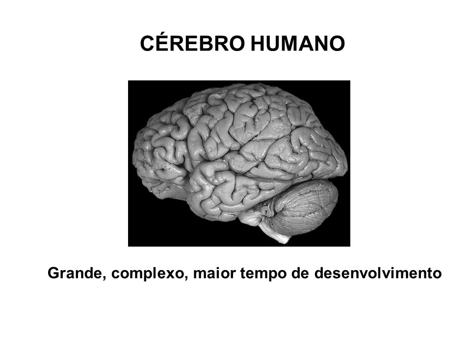 Grande, complexo, maior tempo de desenvolvimento CÉREBRO HUMANO