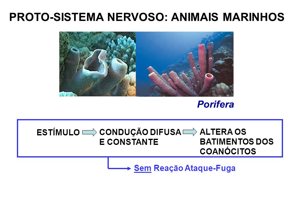 PROTO-SISTEMA NERVOSO: ANIMAIS MARINHOS Porifera ESTÍMULO CONDUÇÃO DIFUSA E CONSTANTE ALTERA OS BATIMENTOS DOS COANÓCITOS Sem Reação Ataque-Fuga