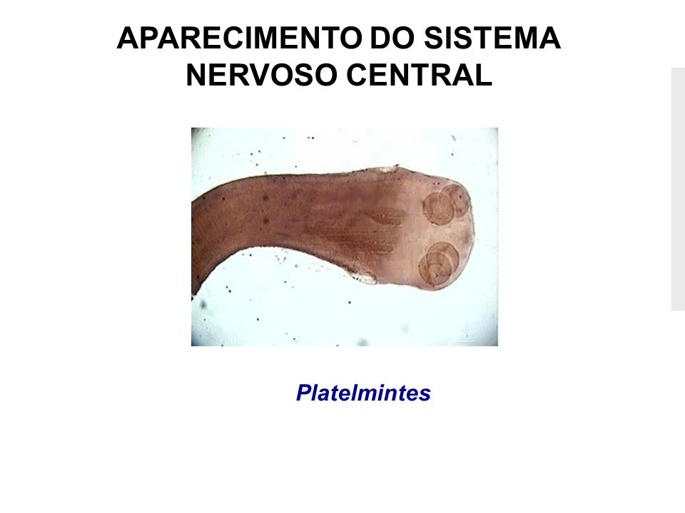 APARECIMENTO DO SISTEMA NERVOSO CENTRAL Platelmintes