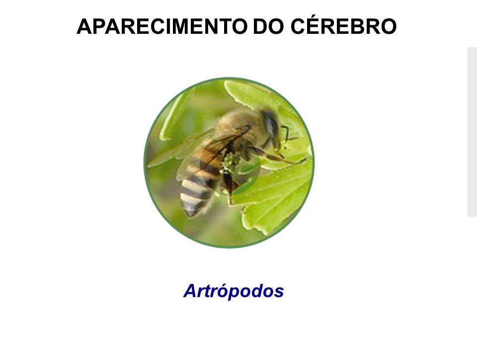 APARECIMENTO DO CÉREBRO Artrópodos