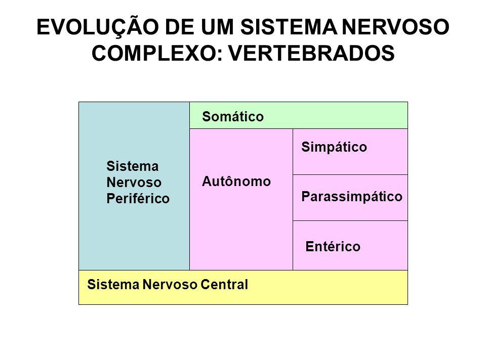 EVOLUÇÃO DE UM SISTEMA NERVOSO COMPLEXO: VERTEBRADOS Sistema Nervoso Central Sistema Nervoso Periférico Somático Autônomo Simpático Parassimpático Ent